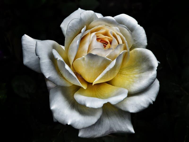 Rosa branca de incandescência fotos de stock