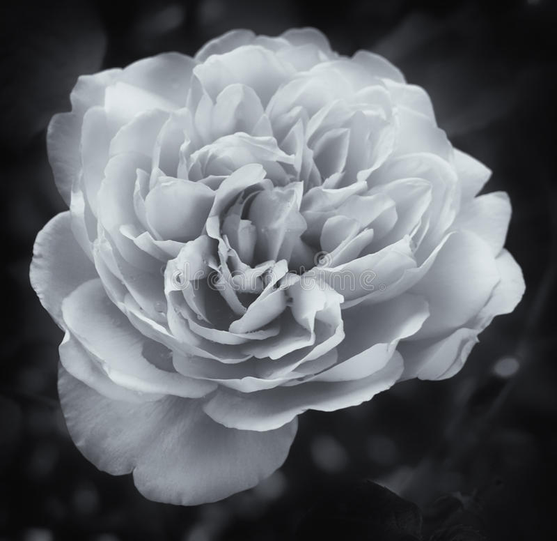 Rosa branca de incandescência no preto imagem de stock
