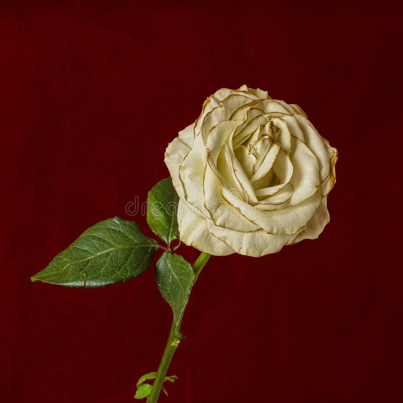 Rosa branca do desvanecimento isolada em escuro - fundo vermelho fotos de stock royalty free