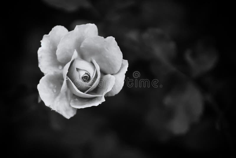 Rosa branca do monochrome no fundo escuro imagem de stock