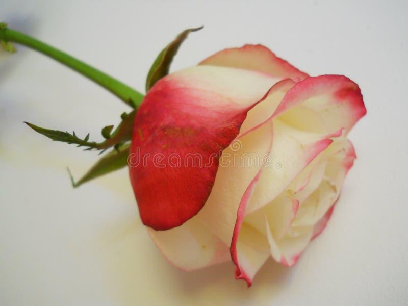 Rosa branca e vermelha só e bonita fotografia de stock royalty free
