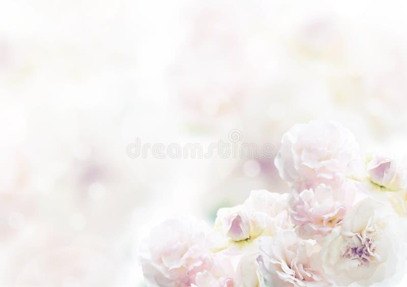 Rosa branca, fundo bonito da flor imagens de stock
