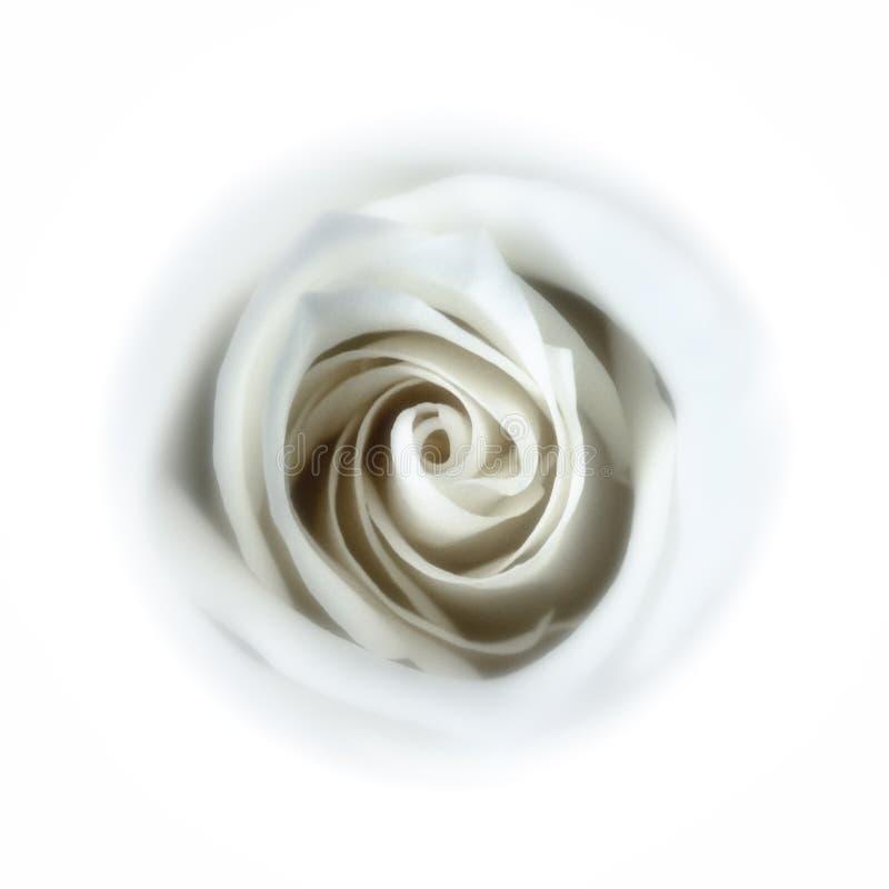 Rosa branca macia - abaixo do furo de coelho foto de stock