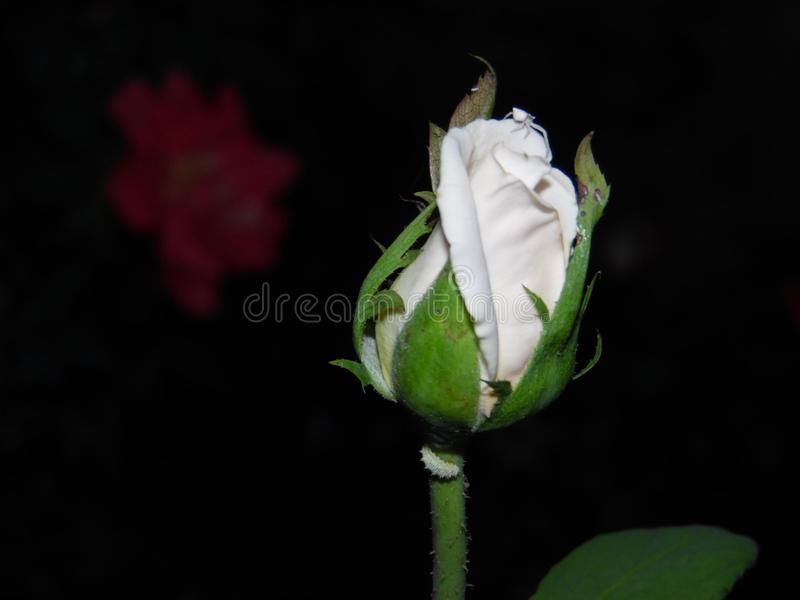 A rosa branca na noite imagem de stock royalty free