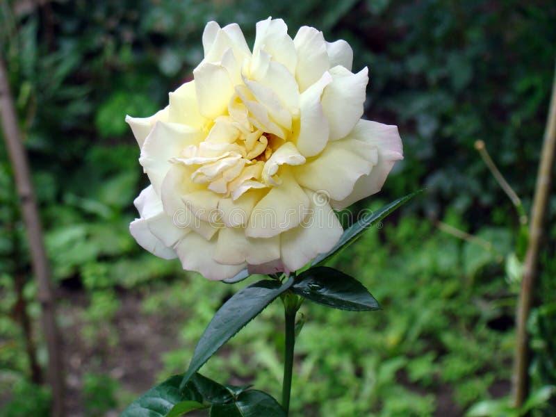 Rosa branca na vila Natureza Ucrânia imagem de stock royalty free