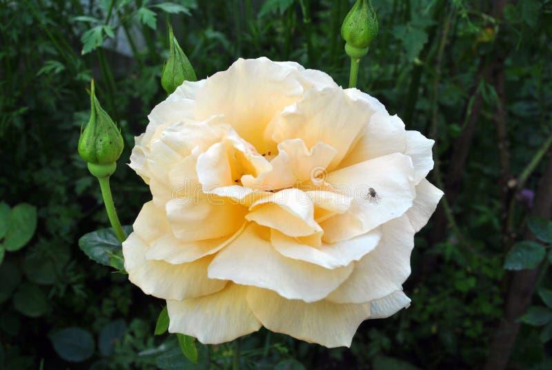 Rosa branca na vila Natureza Ucrânia foto de stock royalty free