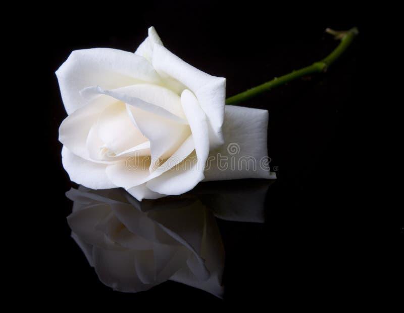 Rosa branca no preto fotos de stock royalty free