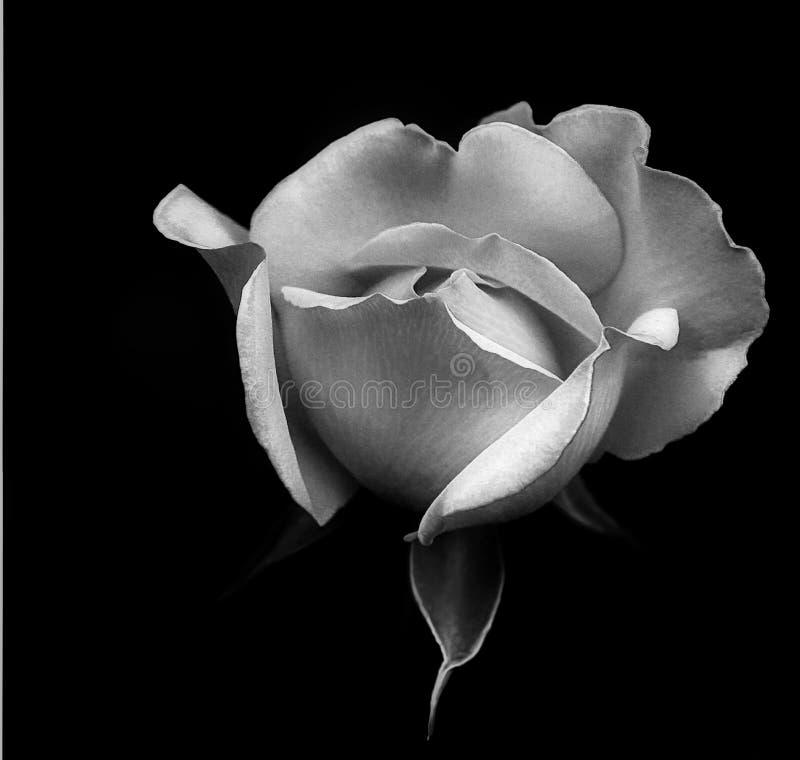 Rosa branca nova em preto e branco fotos de stock