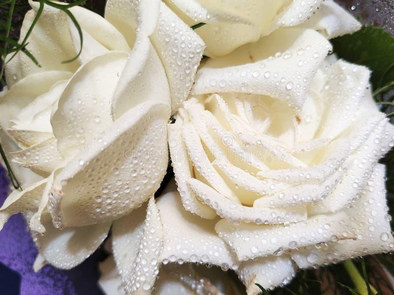 rosa branca Orvalho-coberta - rosa branca do close-up com os pingos de chuva nas pétalas fotos de stock