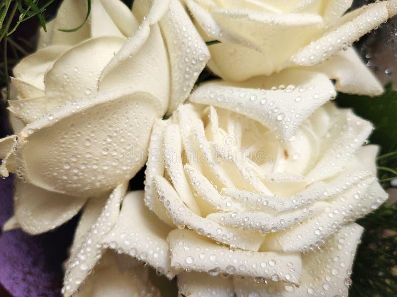 rosa branca Orvalho-coberta - rosa branca do close-up com os pingos de chuva nas pétalas fotos de stock royalty free