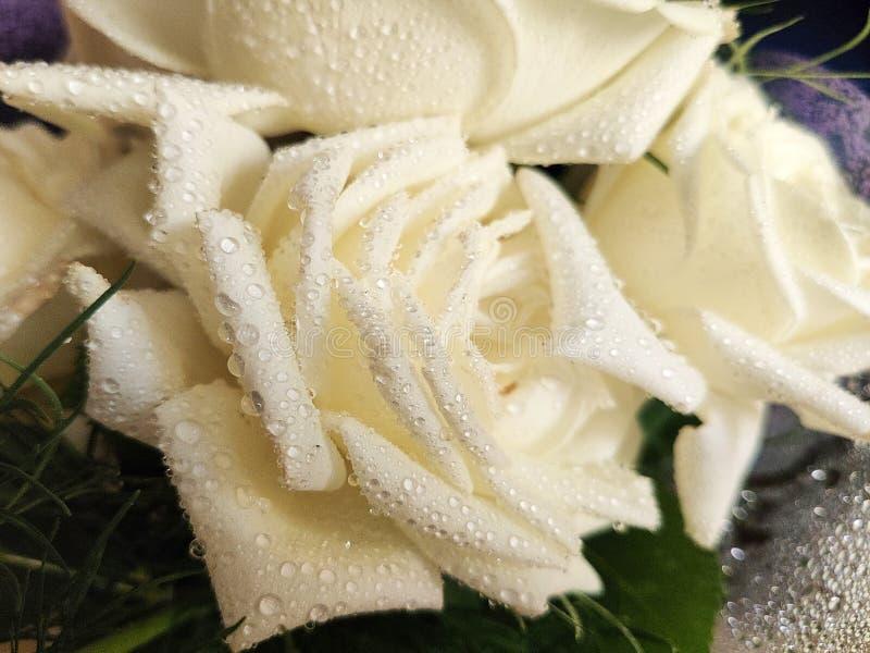 rosa branca Orvalho-coberta - rosa branca do close-up com os pingos de chuva nas pétalas foto de stock royalty free