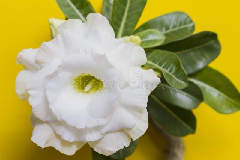 Rosa branca ou adênio com folhas verdes em fundo amarelo foto de stock