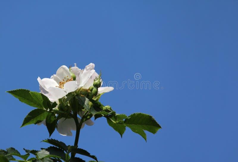 Rosa branca pura contra o céu azul fotos de stock