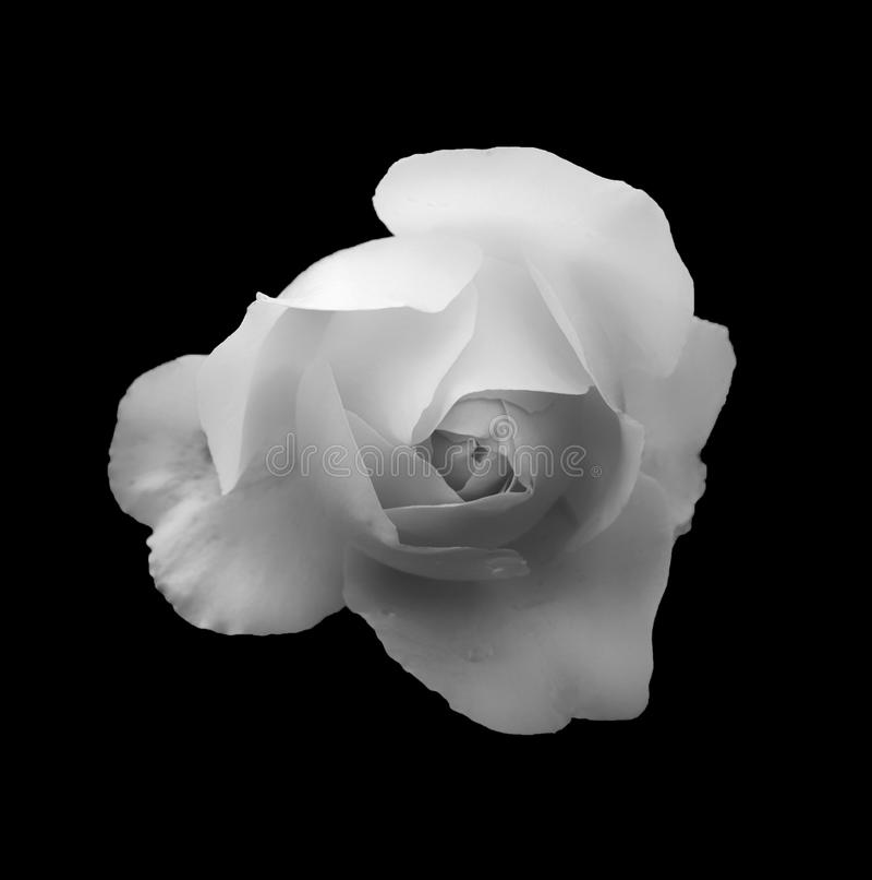 Rosa branca romântica de incandescência macia monocromática em um fundo preto fotografia de stock