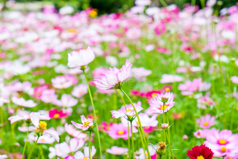 Rosa branco da flor do cosmos imagens de stock royalty free