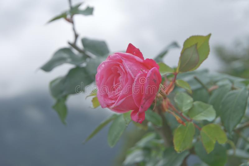 Rosa rosa rosa brillante con fondo nebuloso foto de archivo libre de regalías