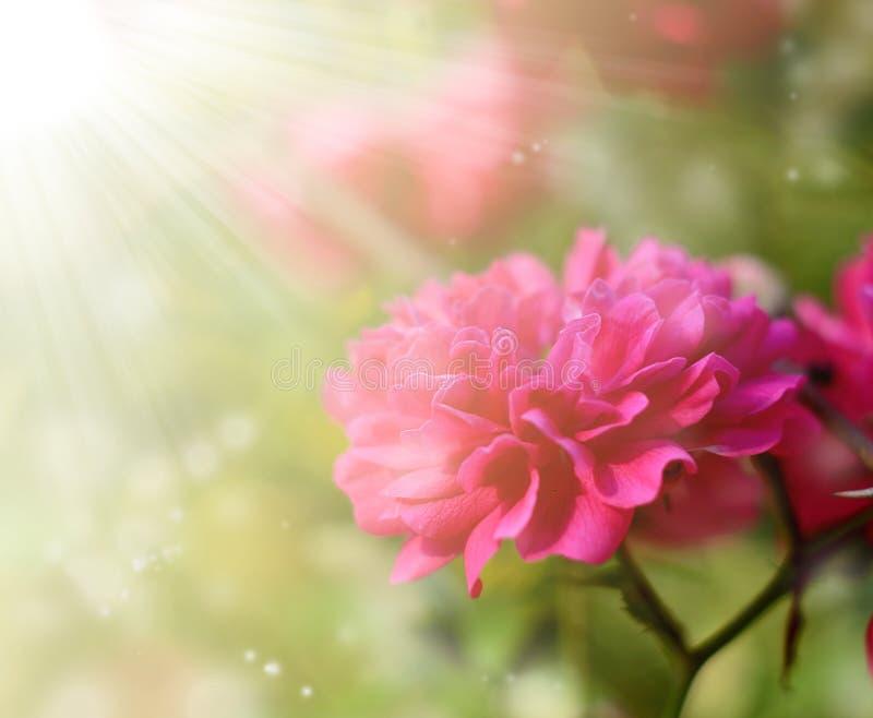 Rosa brillante del rosa que florece en el jardín, al aire libre Fondo estacional de la primavera botánica hermosa fotos de archivo libres de regalías