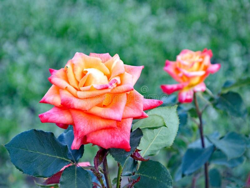 Rosa brillantemente coloreado Rose Growing del amarillo anaranjado en jardín fotos de archivo libres de regalías