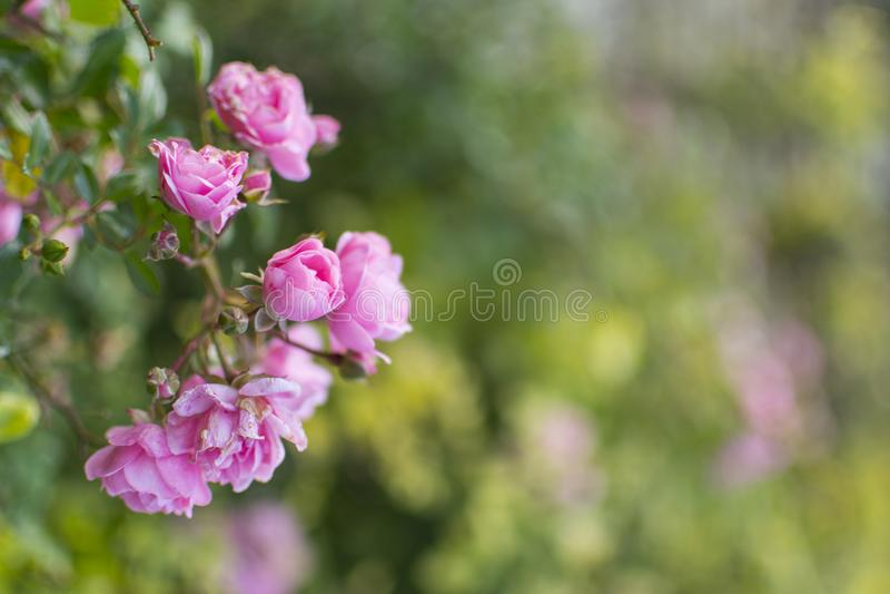 Rosa bulgara di rosa in un giardino immagine stock libera da diritti