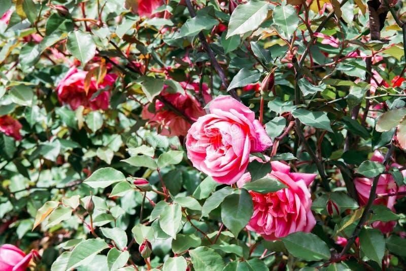 Rosa rosa Bush nel letto di fiori in giardino fotografie stock libere da diritti