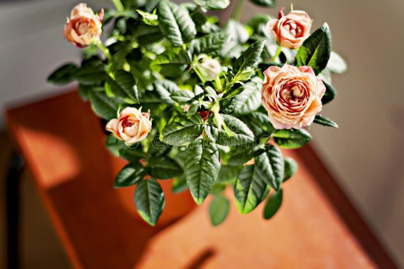 Rosa buske för miniatyr i en blomkruka i solljuset fotografering för bildbyråer