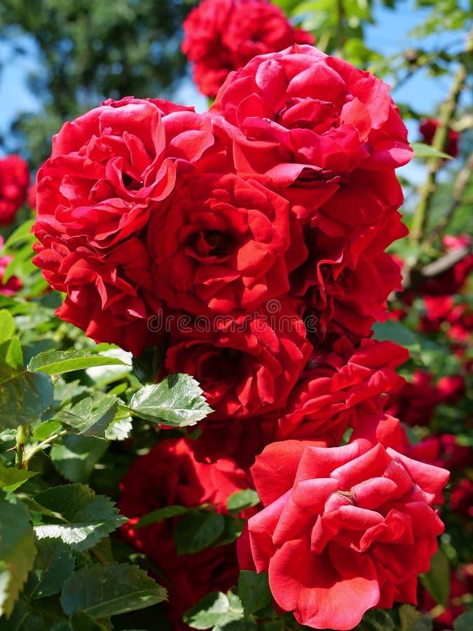Rosa buske med gröna blad royaltyfria bilder