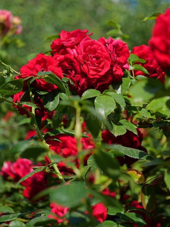 Rosa buske med gröna blad royaltyfria foton