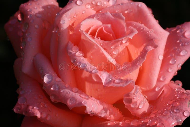 rosa całująca zdjęcia stock