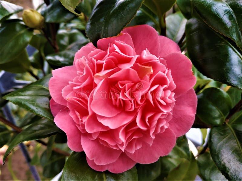 Rosa Camellia Japonica blomning och gröna sidor arkivbild