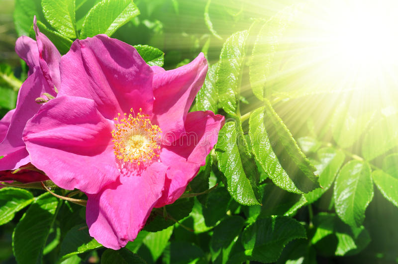 Download Rosa canina stock image. Image of leaf, herbal, alternative - 29863405
