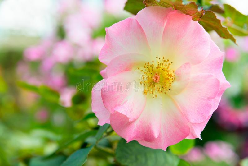 Rosa canina or dog rose fresh pink flower. Rosa canina fresh pink flower in a green garden, commonly known as the dog rose stock image