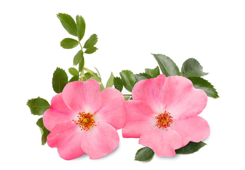 Rosa canina stock photo