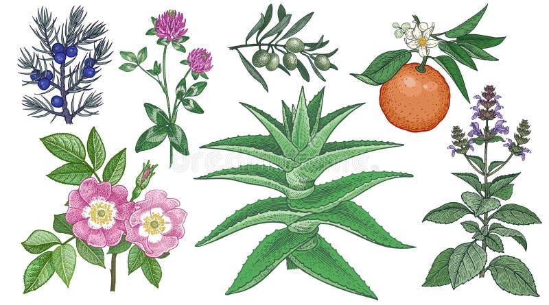 Rosa canina, trifoglio, ginepro, aloe vera, ramo di ulivo, basilico amaro e santo Insieme delle erbe mediche illustrazione vettoriale