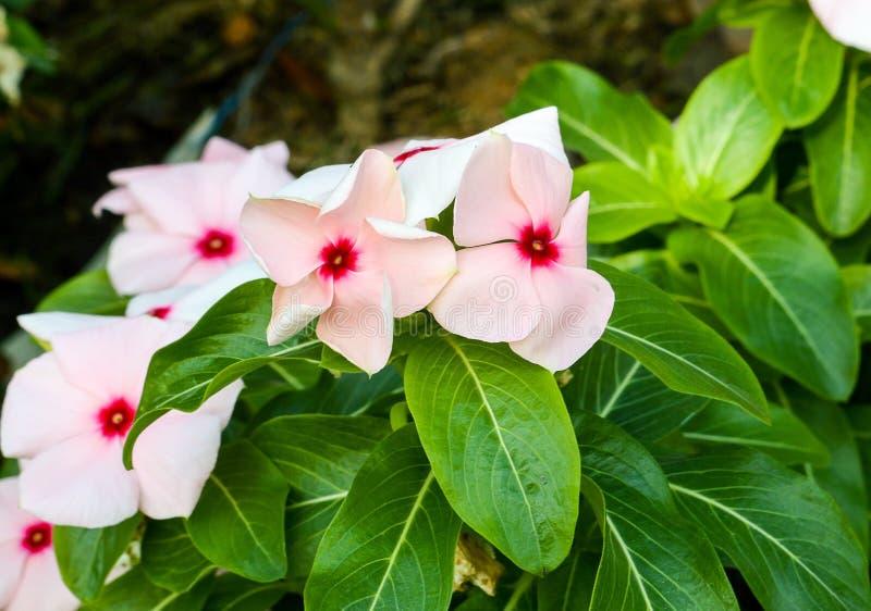 rosa Catharanthus roseus Blume lizenzfreie stockbilder