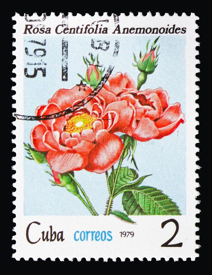 Rosa centifolia, Flowers - Roses serie, circa 1979. MOSCOW, RUSSIA - AUGUST 18, 2018: A stamp printed in Cuba shows Rosa centifolia, Flowers - Roses serie, circa royalty free stock photo