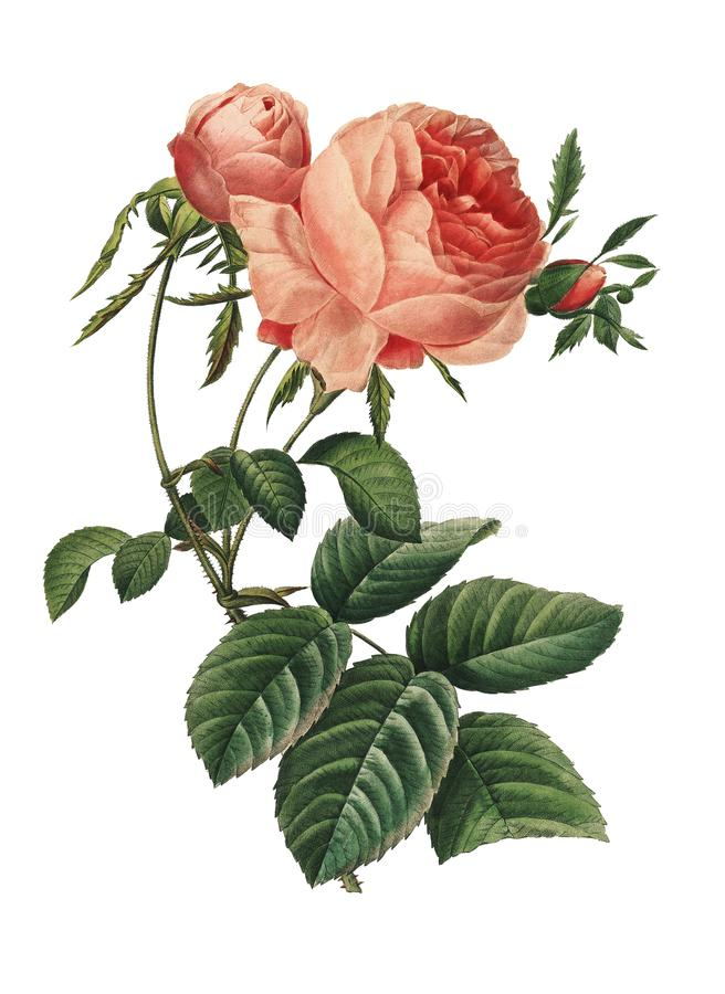 Rosa centifolia | Redoute blommaillustrationer royaltyfri illustrationer