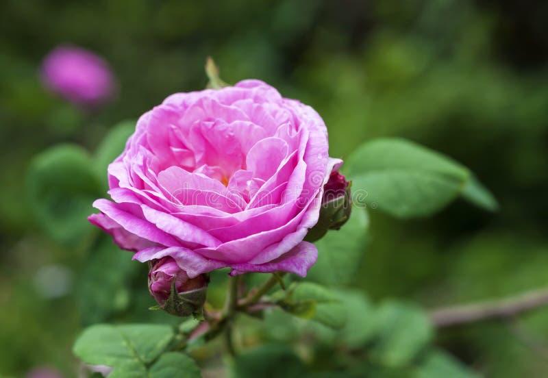 Rosa Centifolia & x28; Steg des Peintres& x29; blomma arkivbild