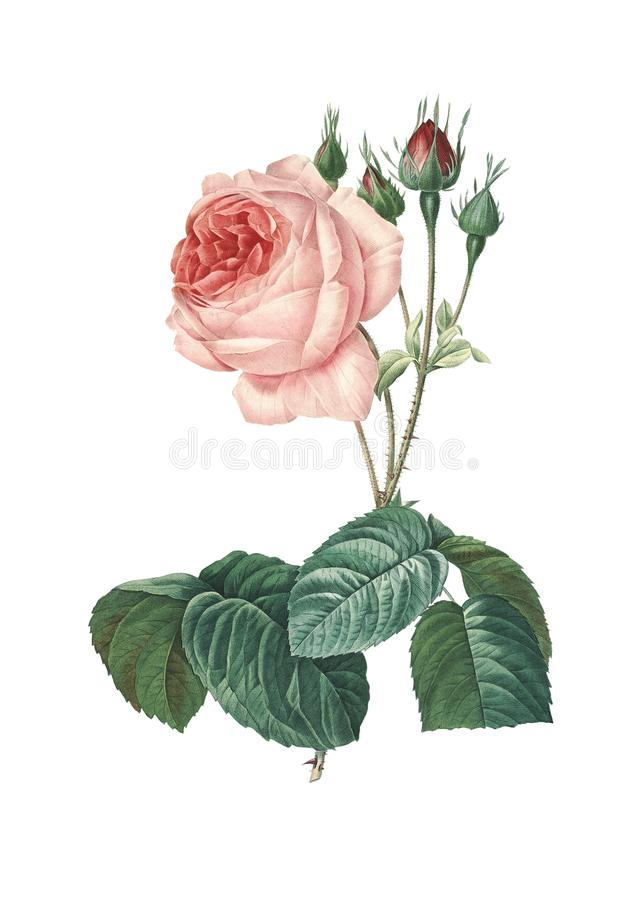 Rosa centifoliabullata| De Illustraties van de Redoutebloem royalty-vrije illustratie