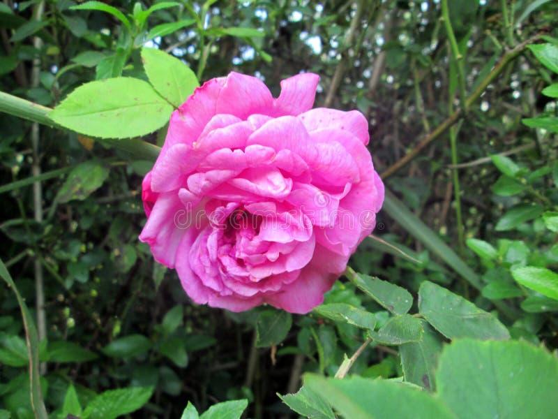 Rosa Centofolia obrazy stock