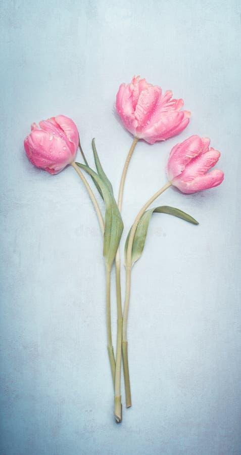Rosa charmiga försiktiga vårtulpan samlar ihop i pastellfärgad färg på blå bakgrund, bästa sikt arkivbilder