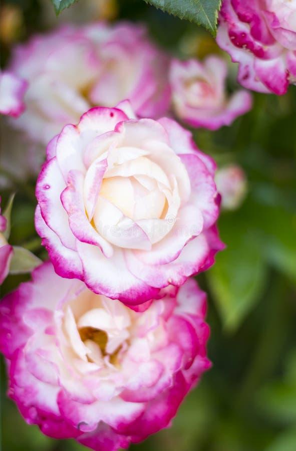 Rosa che cresce nel giardino immagini stock