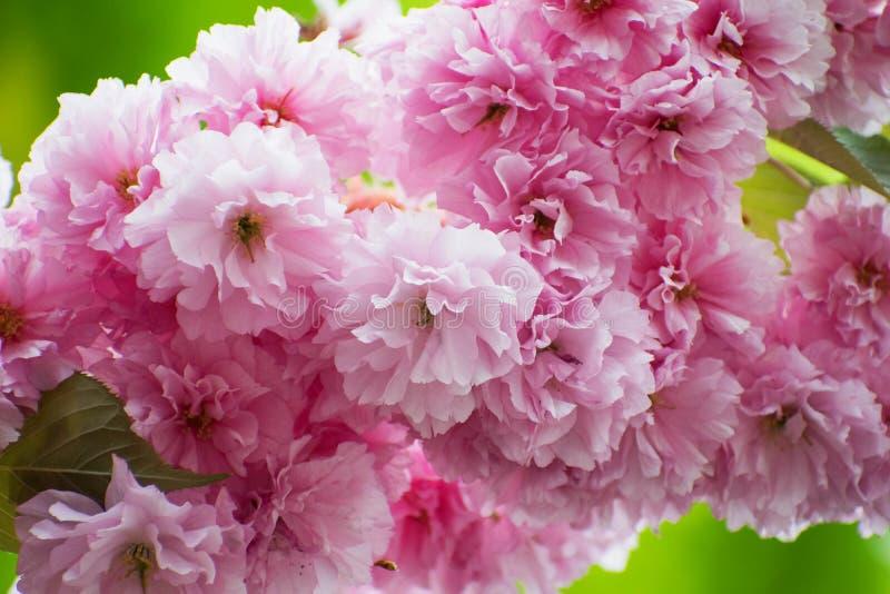 Rosa Cherry Blossom-Abschluss oben Wiese voll des gelben Löwenzahns Frisches Blütenmit blumenfoto stockfoto