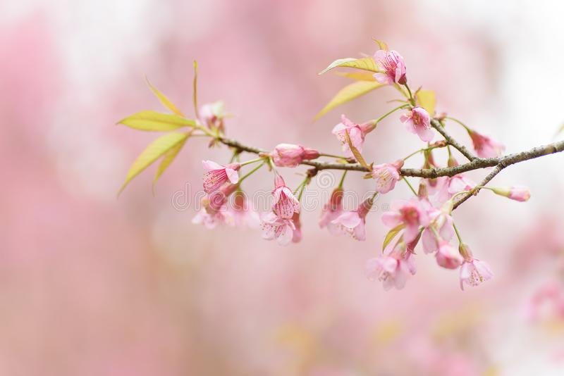 Rosa Cherry Blossom-Blume in Thailand stockfoto