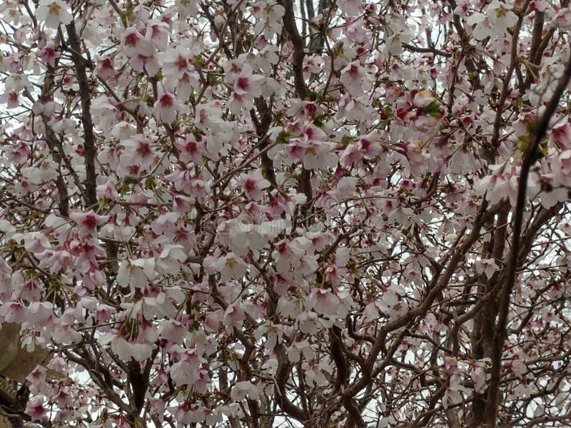 Rosa Cherry Blossoms 1 fotos de archivo