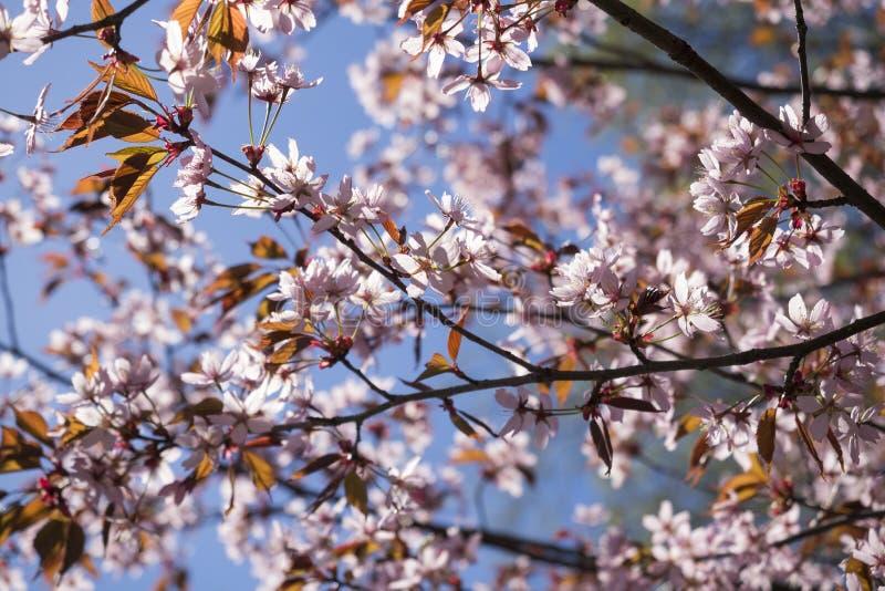 Rosa Cherry Tree Flowers fotografering för bildbyråer
