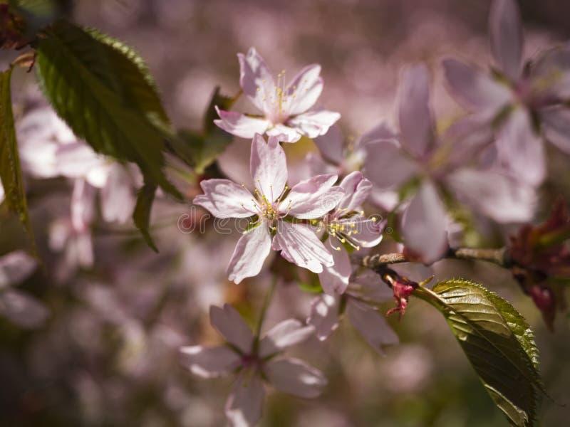 Rosa Cherry Tree Flowers royaltyfri bild