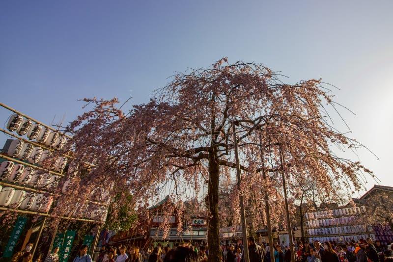 Rosa Cherry Tree im touristischen Einkaufsviertel von Tokyo lizenzfreies stockbild