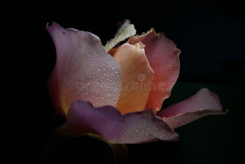 Rosa-chiaro e colorato di pesca è aumentato con le goccioline fotografie stock libere da diritti