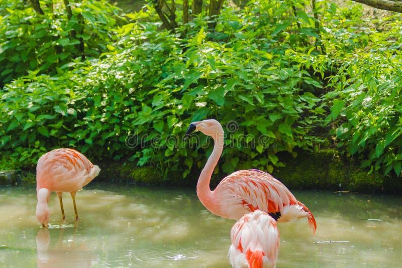 Rosa chilensk flamingo med en typisk svartvit näbblookng för mat i gyttjan fotografering för bildbyråer