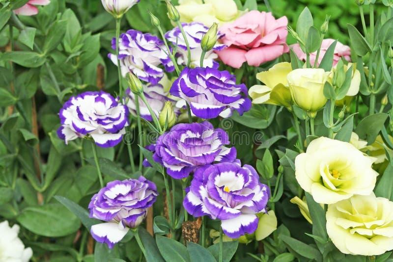 Rosa china colorida fotografía de archivo libre de regalías